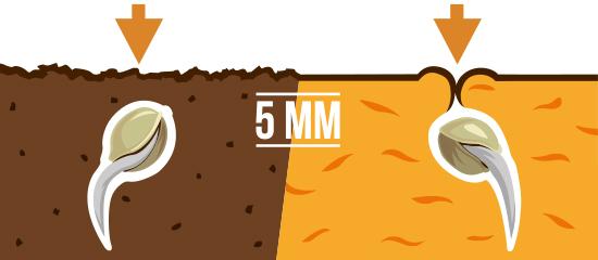 Ilustração que apresenta duas sementes germinadas, numa imagem dividida, com raízes longas semeadas a 5 mm de profundidade no solo ou lã mineral. Pequenas setas laranja por cima do solo, lã mineral e sementes, a apontar para baixo, indicam que as sementes estão semeadas com a raiz para baixo.