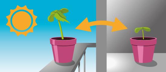 Grafika przedstawiająca krzak konopi w doniczce na balustradzie balkonowej. W tle niebieskie niebo. Na tle nieba rysuje się słońce. Strzałka z dwoma grotami wskazuje na drugą część grafiki, która również przedstawia krzak konopi w fioletowej doniczce. Znajduje się ona wewnątrz pomieszczenia na szarej powierzchni przed szarą ścianą.