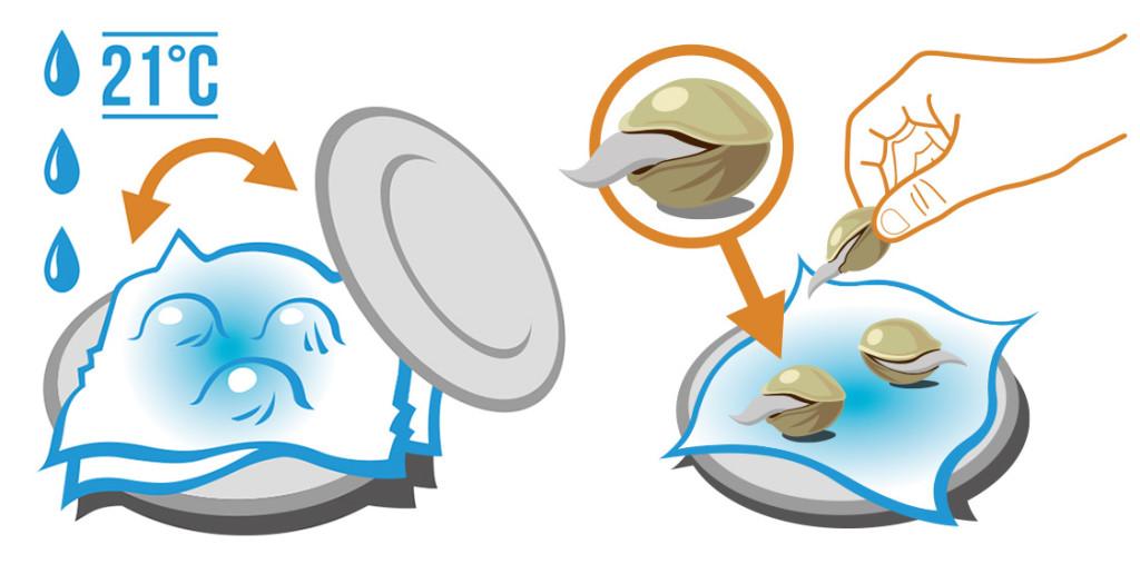 """Grafische Darstellung eines Tellers, auf dem von zwei feuchten Küchenpapieren umhüllte Samen liegen. Das Symbol der drei Wassertropfen zeigt die verwendete Wassermenge an, in blauen Buchstaben, von zwei Linien umrahmt steht """"21 °C"""" geschrieben, und ein orangefarbener Doppelpfeil zeigt auf einen zweiten Teller, der zur Bedeckung des ersten Tellers gedacht ist. Der zweite Teil der Abbildung zeigt die gekeimten Samen. Ein Kreis mit einem Pfeil abwärts in Richtung einer der drei Samen zeigt die vergrößerte Abbildung des Samens mit einer daraus hervorquellenden Wurzel."""