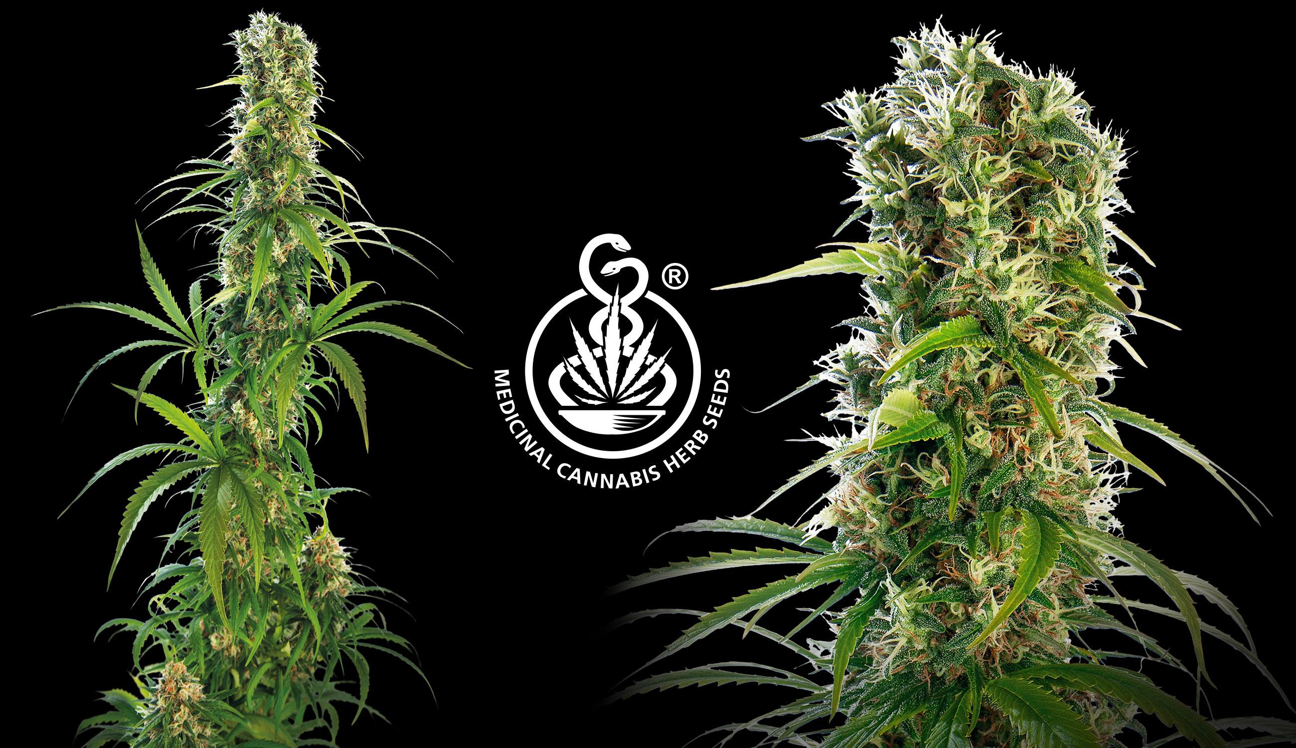 How to Choose a Medicinal Cannabis Strain?
