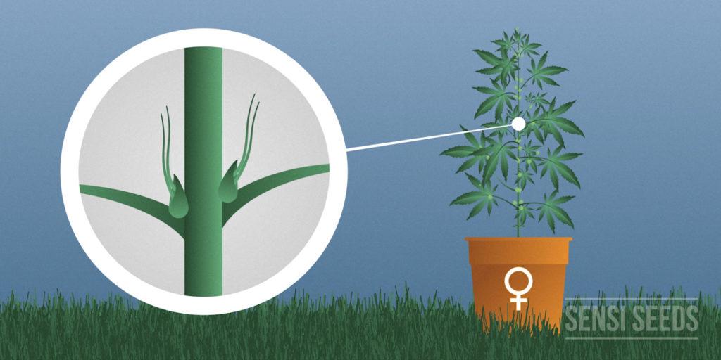 Plant cannabis femelle