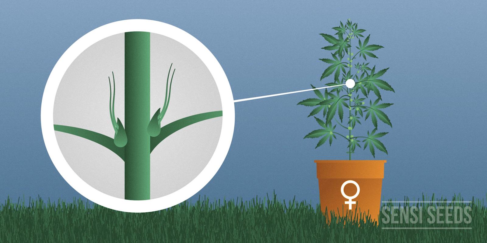 Weibliche Pflanze