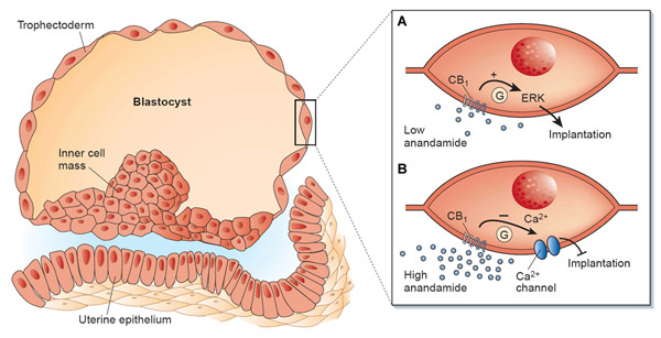 (A) - bij lage concentraties kan anandamide CB1-receptoren aan het oppervlak van embryonale cellen activeren, waardoor nesteling mogelijk wordt; (B) bij hogere concentraties kan anandamide nesteling voorkomen door afname van de calcium-influx.