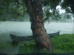 In streken met een moessonklimaat ontkiemt cannabis over het algemeen aan het einde van het natte seizoen