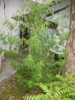 Een gezonde mannelijke plant in Rishikesh, Noord-India