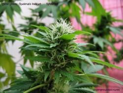 ruderalis indica III Sensi Seeds forum