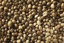 Het gedicht The Praise of Hemp-seed prijst de vele voordelen en toepassingen van hennepzaad (CC. fluffymuppet)